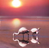 image of eduardo avaroa  - flamingo in Bolivia - JPG