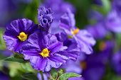 Solanum Rantonnetii (species: Lycianthes Rantonnetii),  Flowering Plant In The Family Solanaceae