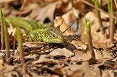 Green Lizard (lacerta Viridis).