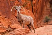 Desert Big Horn Sheep Ram