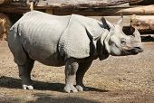 picture of wallow  - Indian rhino - JPG
