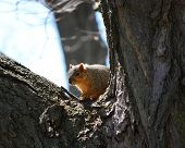 stock photo of crotch  - A squirrel sitting in the crotch of a tree looking - JPG