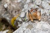 Golden-mantled Ground Squirrel, Spermophilus Lateralis