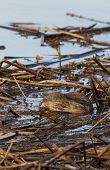 picture of muskrat  - Muskrat at Swan Lake National Wildlife Refuge