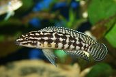 stock photo of diskus  - Lake Tanganjika Cichlid Julidochromis marlieri or Marliers Julie - JPG