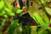 picture of diskus  - Black Barbus puntius nogrofasciatus with sumatra barbus