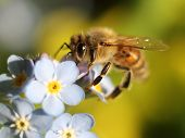Honey Bee Close-up