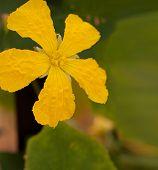 Loofah Luffa Gourd Yellow Flower