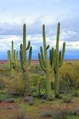 Almighty Saguaro of Arizona Desert