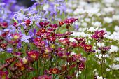 Spring Rockery Garden Plants In Red Purple And White, England