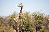 An Alert Giraffe In The Bushveld