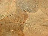 Abstract Background/texture Of Dried Leaves/herbarium