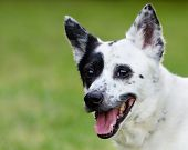 foto of blue heeler  - Portrait of blue heeler or Australian cattle dog with space for copy - JPG