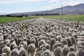 A mob of Merinos in New Zealand.