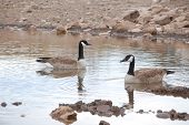A Pair Of Canadian Geese (branta Canadensis) Swimming In A Lake
