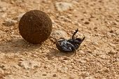Dung Beetle On Its Back