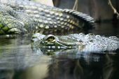 stock photo of crocodilian  - snout of fish - JPG