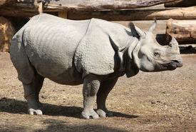 stock photo of wallow  - Indian rhino - JPG