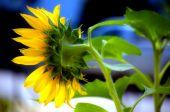 Virginia Sunflower - Helianthus Annuus