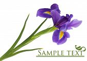 stock photo of purple iris  - Purple iris flower - JPG