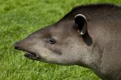 Tapir Profile