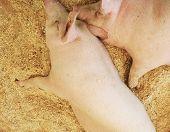 Pigs Resting On Wood Shavings