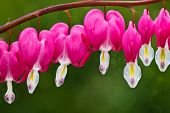 image of lyre-flower  - Row of bleeding heart blossoms hanging on curved stem - JPG
