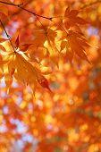 Maple Tree Leaves Back Lit By Sunlight