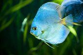 Blue Diamond Discus (Symphysodon aequifasciatus)