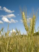 Wheat On A Background Of The Light-blue Sky