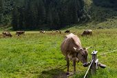 Cows In The Alps