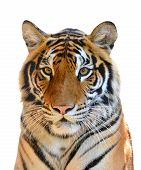 stock photo of tigers  - a tiger head isolated on white background - JPG