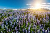 Sun shining over the meadows full of blooming Nootka lupin (Lupinus nootkatensis) under the Snaefell