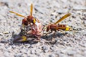 picture of hornets  - The Oriental hornet Vespa orientalis - JPG