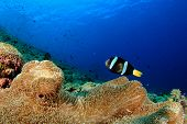 Anemone and Clownfish on coral reef underwater