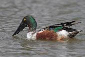 Northern Shoveler - Texas