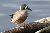 Blue-winged Teal Standing On A Fallen Log - Texas