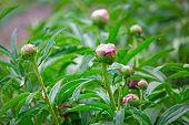 Flower Buds Of Peonies