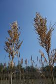 stock photo of australie  - Seed heads of common reeds (Phragmites australis) against blue sky in the Camargue, Provence, South France
