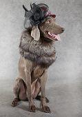 Victorian Style Weimaraner Dog