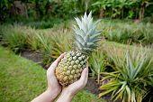 Fresh Pineapple held in hands in a pineapple garden