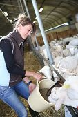 Woman breeder feeding goats in barn