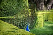 Peacock (pavo Cristatus) Is In A Green Garden