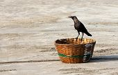 Indian House Crow (corvus Splendens) Sitting On A Wicker Basket