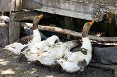 Drinking trough for geese