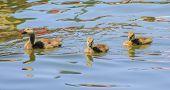 3 goslings