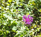 Flower Of Globularia