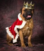 picture of bull-mastiff  - bull mastiff wearing king costume sitting on purple background - JPG