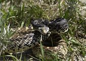 Bull Snake poised to strike