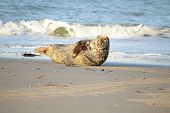Grey seal on the beach